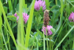 Red clover (Trifolium pratense) Stock Footage
