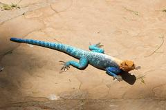 Colorful Agama , Masai Mara, Kenya Stock Photos