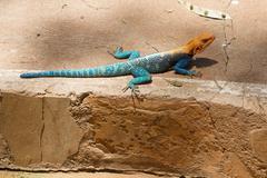 Colorful Agama , Masai Mara, Kenya Stock Photos