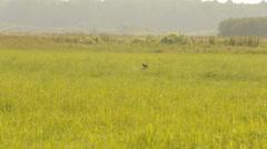 Dog hunting in search of prey. Kurzhaar Drathaar in the marsh hunts. Stock Footage
