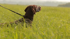 Dog hunting in search of prey. Kurzhaar Drathaar in the marsh hunts. Stock Footage