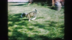 1961: puppy play attacking another puppy in yard while person referees IOWA Stock Footage