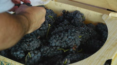 De-stemming Grapes at Vineyard Stock Footage