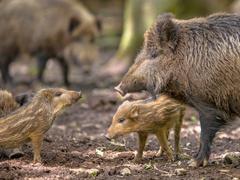 Family Wild Boar Kuvituskuvat