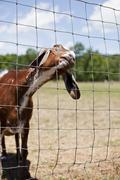 Grinning Goat Stock Photos