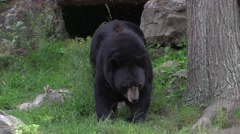 Lone, big Black Bear Stock Footage