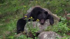 A resting black bear Stock Footage
