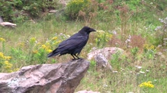 A large black crow Stock Footage