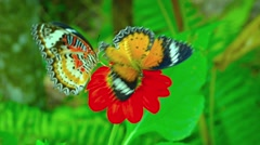 Leopard Lacewing butterfly on the red flower close up Stock Footage