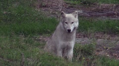 A baby Arctic wolf Stock Footage