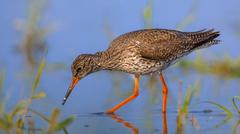 Foraging Common Redshank Stock Photos