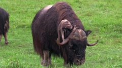 A large musk ox feeding Stock Footage