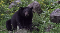 A large black bear Stock Footage