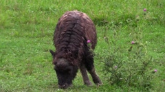 A baby musk ox grazing Stock Footage