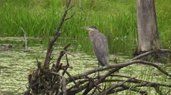 A Great Blue Heron Stock Footage