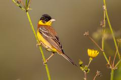 Black headed Bunting in herb Stock Photos