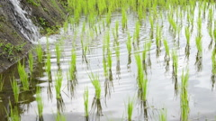 Rice Field Irrigation Close Up Stock Footage