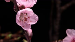 Pink Cherry blossom flower blooming time lapse Stock Footage