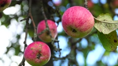 Apples in the village. This environmentally friendly product. Stock Footage