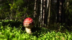 Poisonous mushroom fly agaric. With a bright red cap Stock Footage