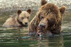 Brown bear does not want to share caught salmon with her cubs. Kurile Lake Stock Photos