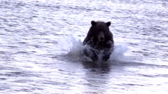 Grizzly slo mo in water Stock Footage