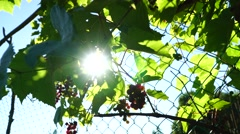Grapes on a sunny day, clusters of bright colors, through the sun's rays Stock Footage