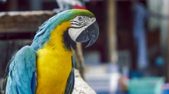 Blue yellow macaw parrot. Blue golden macaw parrot. Ara ararauna Stock Footage