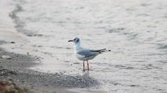 Single seagull bird on seashore looking around, sea waving Stock Footage