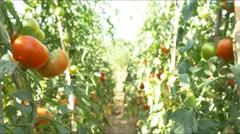 Mature Tomatoes Vegetable Garden Organic Tomato 4k farm chemical free no GMO Stock Footage