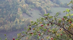 Focus on autumn branch with red fruits, autumn scenary Stock Footage