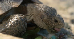 Close up Desert Tortoise face tongue legs scales eyes 4K Stock Footage
