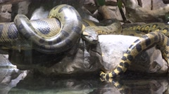 Anaconda snake waiting prey near the water Stock Footage