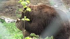 Couple of bear copulation, reproduction in the wild Stock Footage