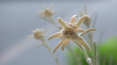 Focus on edelweiss flower, green leaf and blue sky Stock Footage