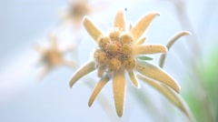 Focus on beautiful edelweiss flower, blur background Stock Footage