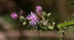 Bee collects pollen from purple flower Stock Photos