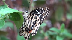 Beautiful colored butterfly on green leaf flat the wings- Papilio demoleus, lime Stock Footage