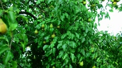 Pears in the summer garden. Stock Footage