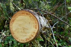 Environmetal concept, illegal deforestation. Freshly cut pine tree log Stock Photos