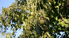 Delicious, ripe pears gathered in the fruit garden. Stock Footage