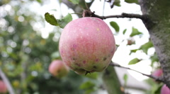 Beautiful ripe juicy red apple on a tree branch Stock Footage