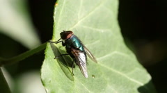 Common greenbottle Lucilia caesar, taking off, Slomo Stock Footage