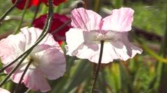 Poppy Rhapsody, pink poppy Stock Footage