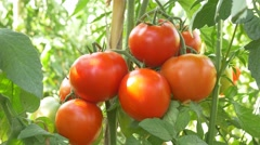 Watering Tomatoes Vegetable Garden Organic Tomato 4k farm chemical free no GMO Stock Footage