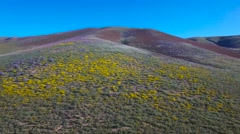 A low aerial over vast fields of poppies and yellow wildflowers in California. Stock Footage