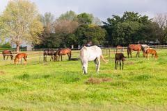 Horses Stud Farm Stock Photos