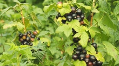 Black berries of currant growing in the summer day Stock Footage
