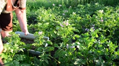 Woman collects Colorado potato beetle from leaves of potatoes Stock Footage