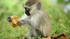 Vervet Monkey Stock Footage